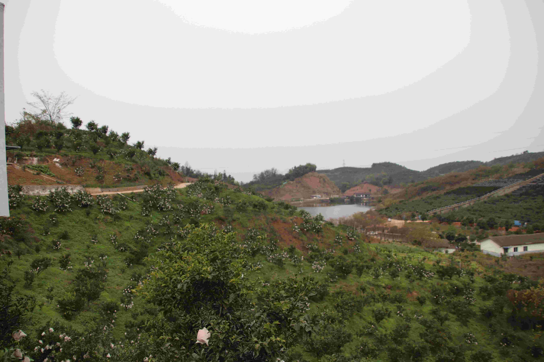 黄山优质的天府生态柑橘怎么加盟