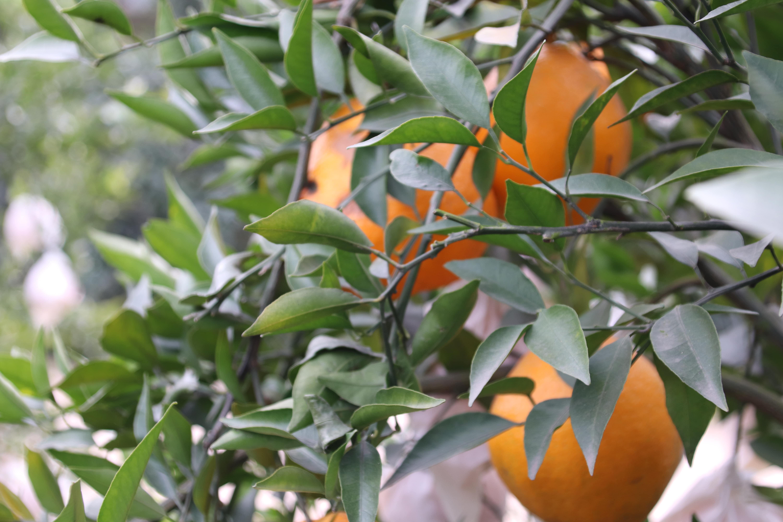 延边正品天府生态柑橘电话是多少