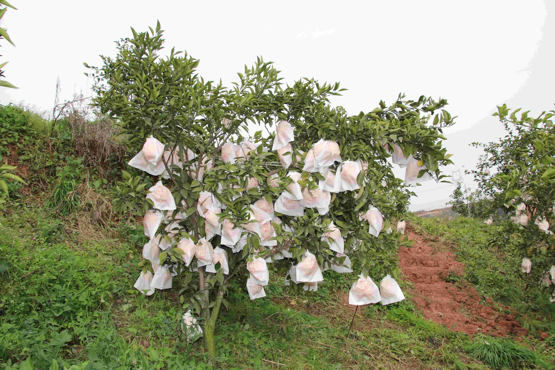 亳州优质的天府生态柑橘