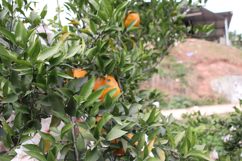 云南优质的天府生态柑橘多少钱
