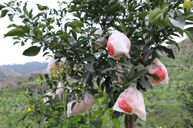 鄂尔多斯哪里有天府生态柑橘